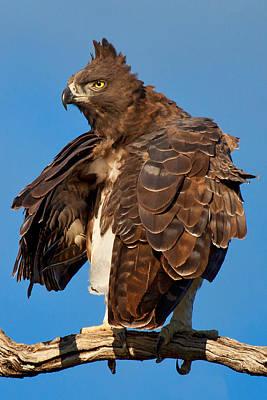 Martial Eagle Art Print