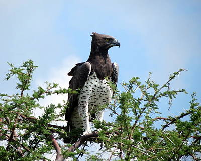Photograph - Martial Eagle by Ramona Johnston