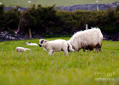 Photograph - Mary Had A Little Lamb by Patricia Griffin Brett