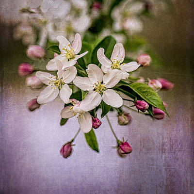 Photograph - Mary's Crabapple Blossoms 1 by Wayne Meyer