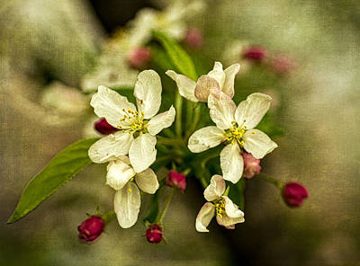 Photograph - Mary's Crabapple Blossoms 3 by Wayne Meyer