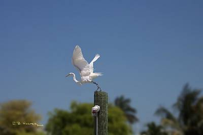 Photograph - Mary's Egret by R B Harper