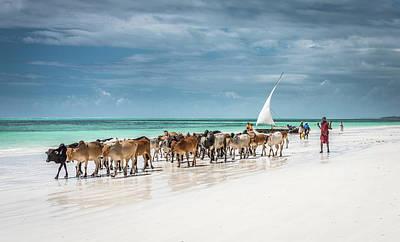 Masai Cattle On Zanzibar Beach Art Print