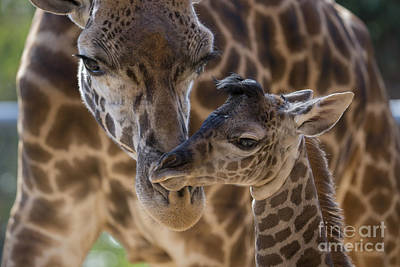 Bonding Photograph - Masai Giraffe And Calf by San Diego Zoo