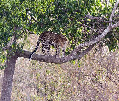 Photograph - Masai Mara Leopard I by June Jacobsen
