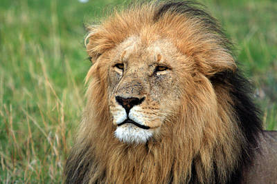 Photograph - Masai Mara Lion Portrait    by Aidan Moran