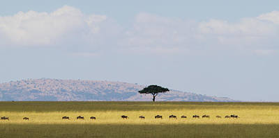 Photograph - Masai Mara Wildebeest Migration by Universal Stopping Point Photography