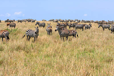 Photograph - Zebras Of The Masai Mara Nature Reserve by Aidan Moran