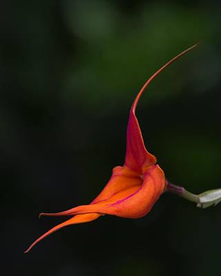 Photograph - Masdevallia Orchid I by Dale Kincaid