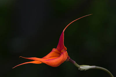 Photograph - Masdevallia Orchid II by Dale Kincaid
