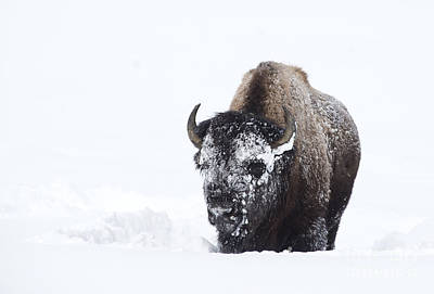 Photograph - Masked Bison by Deby Dixon