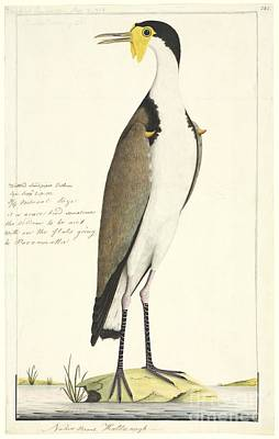 Lapwing Wall Art - Photograph - Masked Lapwing, 18th Century by Natural History Museum, London
