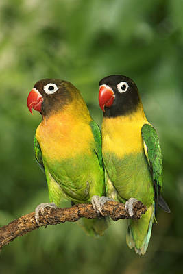 Lovebird Photograph - Masked Lovebirds by Jean-Michel Labat
