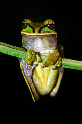 Frog Photograph - Masked Tree Frog Smilisca Phaeota by Panoramic Images
