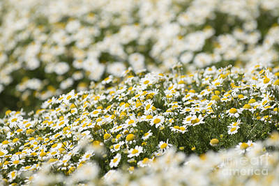 Photograph - Masses Of Mayweed by Anne Gilbert