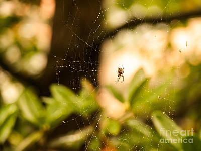 Photograph - Master Of The Web - Araneus Diadematus by Ismo Raisanen