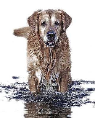 Golden Retrievers Photograph - Master Of Wet Elements by Joachim G Pinkawa