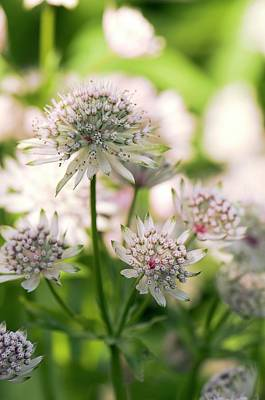 Astrantia Photograph - Masterwort (astrantia Major) Flowers by Adrian Thomas