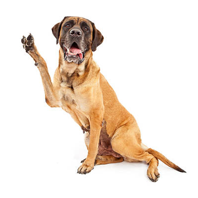 Mastiff Wall Art - Photograph - Mastiff Dog With Paw In Peace Sign by Susan Schmitz