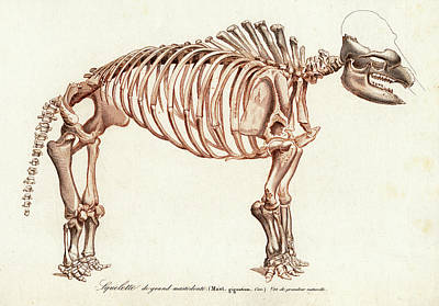Mastodon Skeleton Art Print by Collection Abecasis