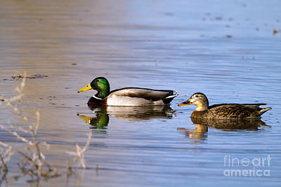 Photograph - Mated Mallards by Martha Marks