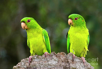 Photograph - Mated Pair Of Wild Green Parakeets by Dave Welling
