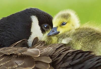 Baby Bird Photograph - Maternal Love by Mircea Costina Photography
