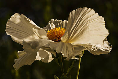 Photograph - Matilija Poppy by Lee Kirchhevel