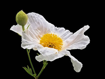 Photograph - Matilija Poppy On Black by Gill Billington