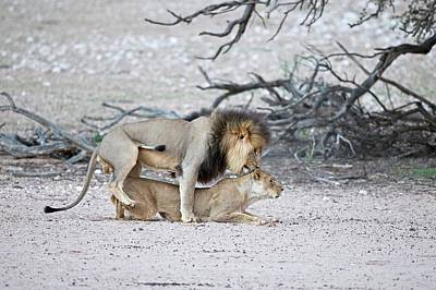 Chordata Photograph - Mating African Lions by Tony Camacho