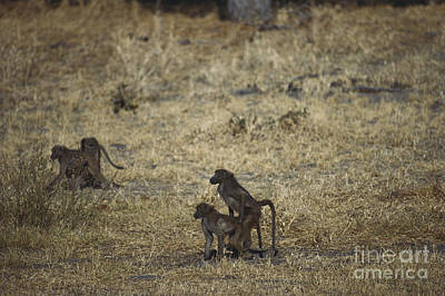 African Sex Photograph - Mating Chacma Baboons by Gregory G. Dimijian, M.D.