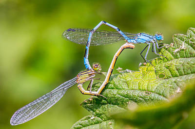 Damsel Fly Photograph - Mating Damselflies. by Gary Gillette