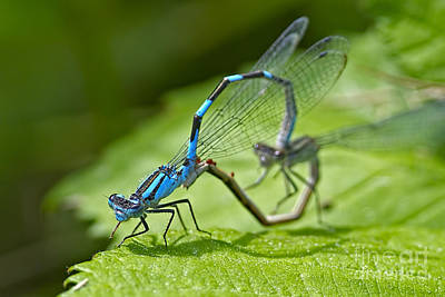 Photograph - Mating Damselflies by Sharon Talson