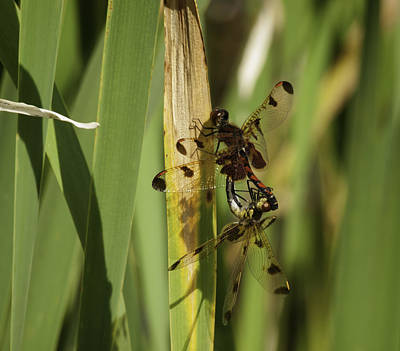 Dragonflies Mating Photograph - Mating Dragonflies by Thomas Young