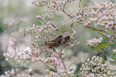 Photograph - Mating Grasshoppers by Diana Boyd