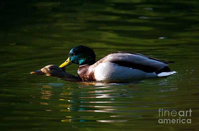 Photograph - Mating Mallard Ducks by Terry Elniski