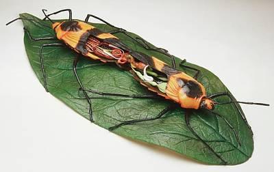 Animal Behaviour Wall Art - Photograph - Mating Milkweed Bugs by Dorling Kindersley/uig