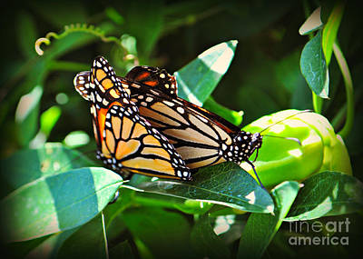 Photograph - Mating Monarch Butterflies  by Mindy Bench