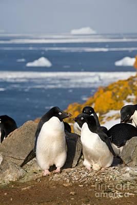 Mating Pair Of Penguins Art Print