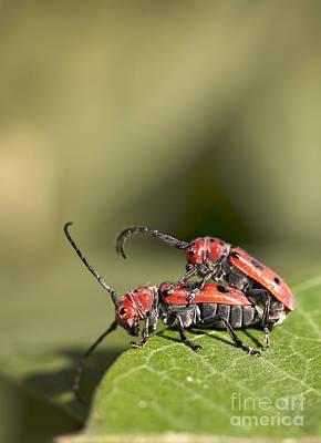 Red Milkweed Beetle Photograph - Mating Pair Of Red Milkweed Beetles by Brandon Alms