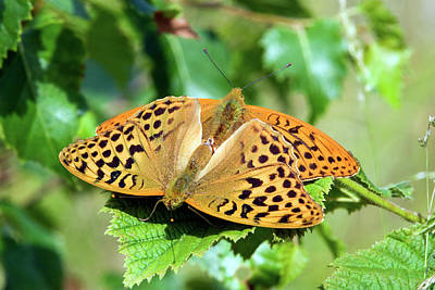 Mating Silver-washed Fritillaries Art Print