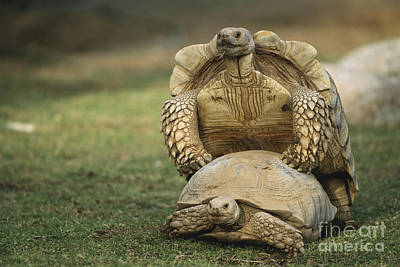 African Sex Photograph - Mating Spurred Tortoises by Mark Newman