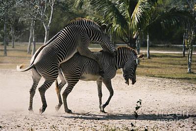 African Sex Photograph - Mating Zebras by Mark Newman