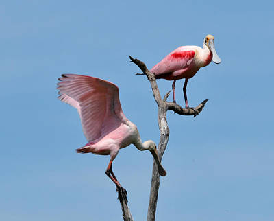 Photograph - Mature And Immature Roseate Spoonbills On Limb by Ruth Burke