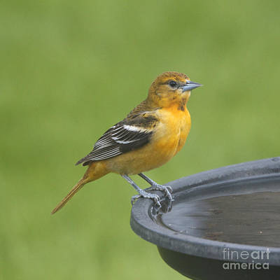 Photograph - Mature Female Oriole Square by Heidi Hermes
