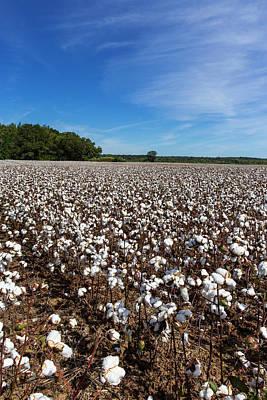 Mature Field Of Cotton Near Tishomingo Art Print by Chuck Haney