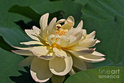Photograph - Mature Lotus Flower And Cute Hovering Honeybee by Byron Varvarigos