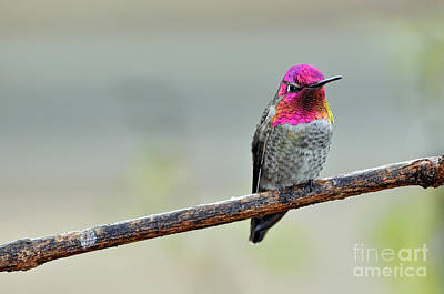 Photograph - Mature Male Anna's Hummingbird by Laura Mountainspring