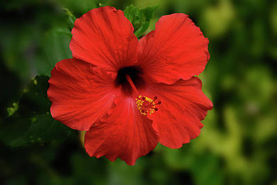 Photograph - Maui Hibiscus by Arthur Fix