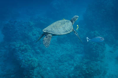 Photograph - Maui Sea Turtle And Unicorn Fish by Don McGillis